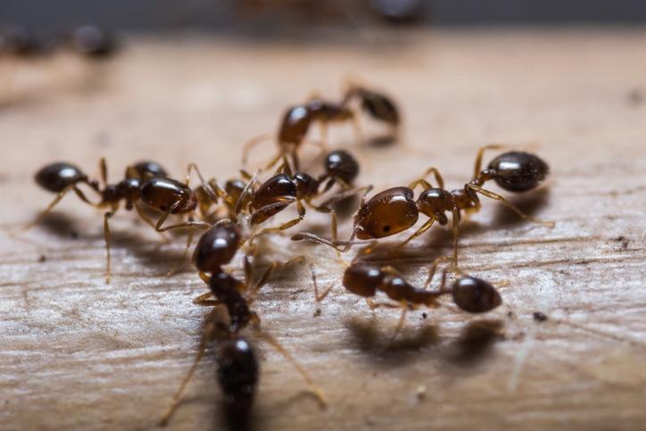 fourmi insecticide bio