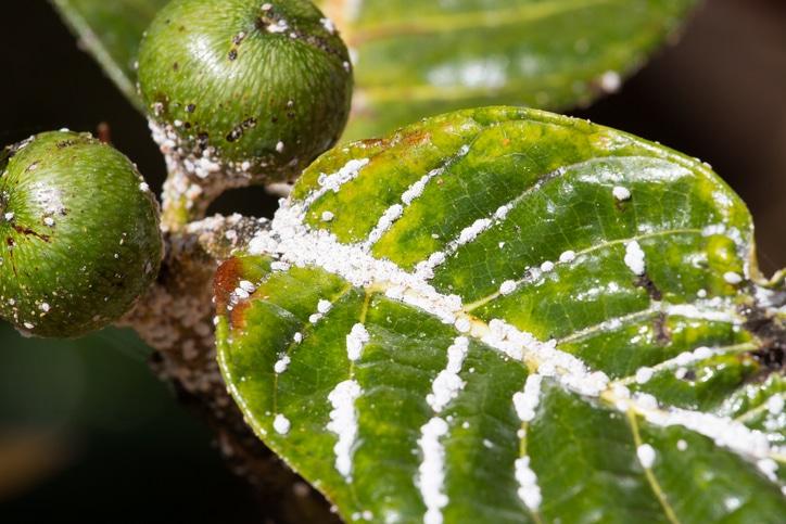 Cochenille insecticide bio