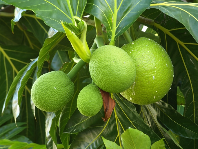 Breadfruit #4