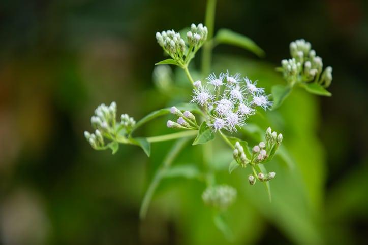 herbe-femme-herbe-bouc-plante-sante-anform-ageratum-conyzoides