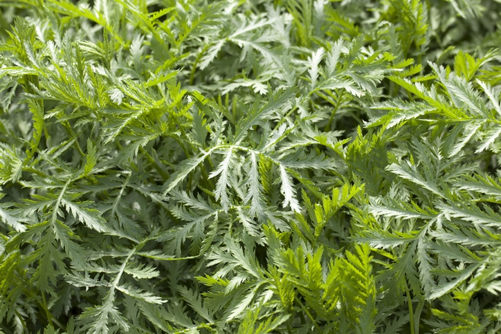herbe-sante-anform-armoise-artemisia-vulgaris