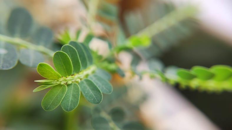 herbe-sante-anform-graine-bas-feuille-phyllanthus-amarus