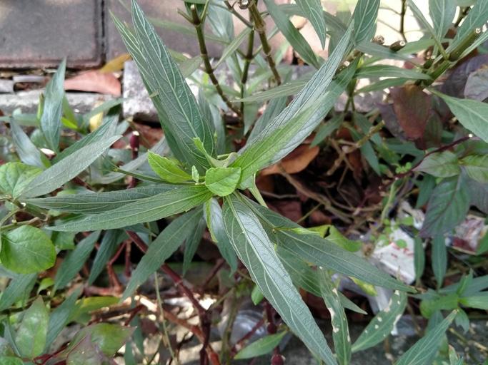 feuilles de diapana noir (Justicia gendarussa)