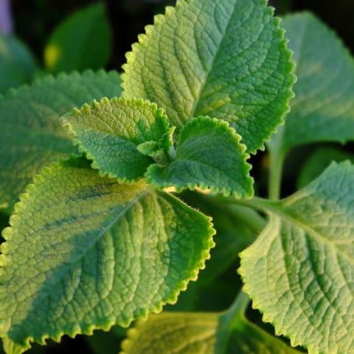 gros thym-bon-sain-plantes-medicinales-anform-magazine-sante-bien-etre-guadeloupe-martinique-guyane