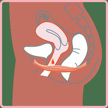 schema flux instictif muscle perinee