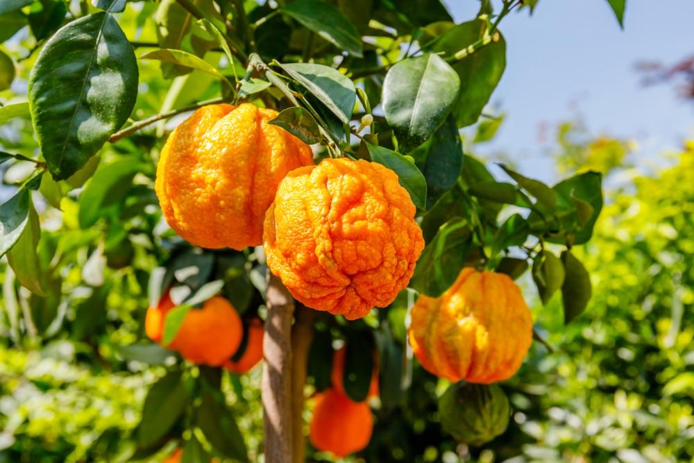 orange amère oranger amer huiles essentielles