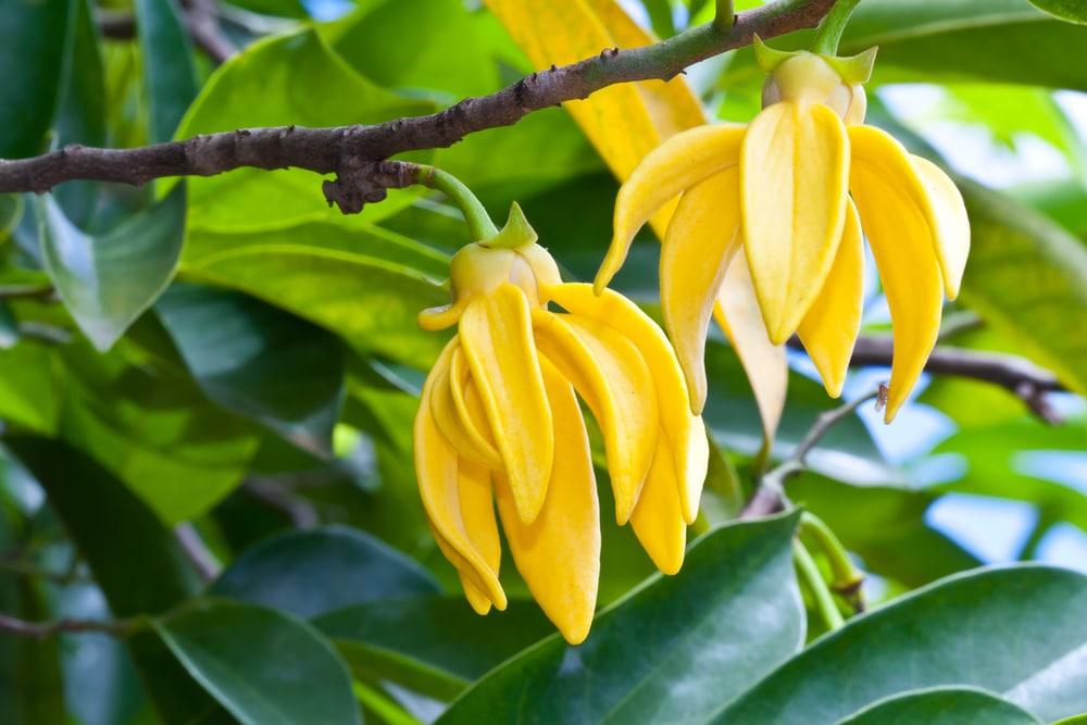 Ylang ylang huiles essentielles